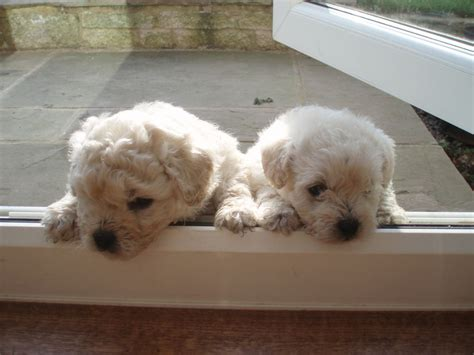 pugapoo puppies for sale pugapoo puppy for sale leigh greater manchester pets4homes