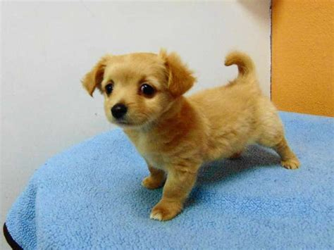 california pomeranian pomeranian chihuahua mix los angeles pico rivera dogs puppies for sale puppies