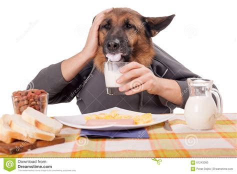 dog only eats from hand funny german shepherd dog with human arms and hands drinking milk stock photo image 61243260