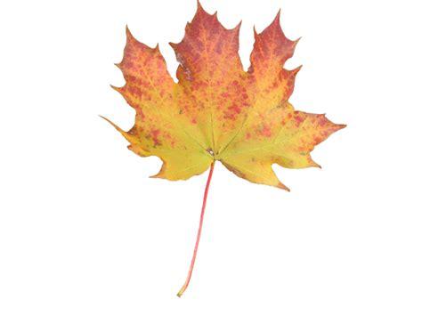 yellow orange maple leaf free stock photo public domain pictures
