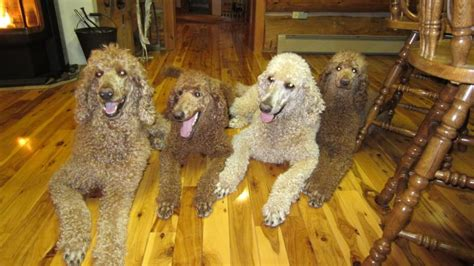 royal poodle lifespan royal standard poodle dogs in our photo