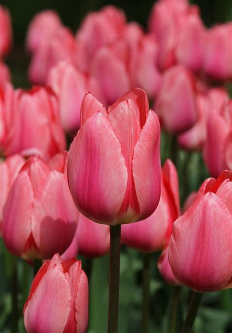 Mukena Bunga Tulip Green 258 best tulips new buy images on beautiful flowers pretty flowers and blossoms