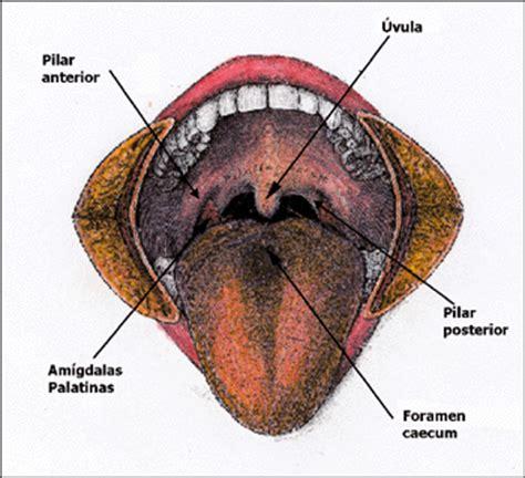 vestibulo oral que es anatomia general de la cavidad oral la odontolog 237 a un