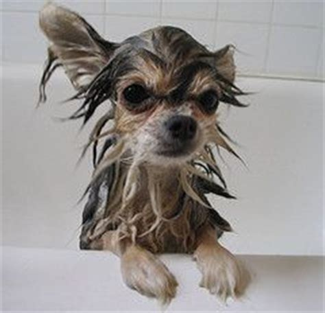 how often should i give my yorkie a bath 190 best images about yorkie hairdo on creative grooming yorkie and