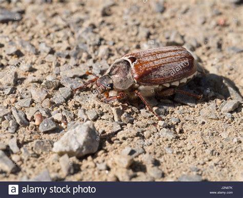 doodlebug bug doodlebug stock photos doodlebug stock images alamy