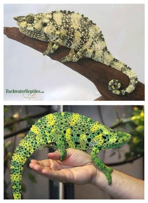 chameleon color change why do chameleons change color