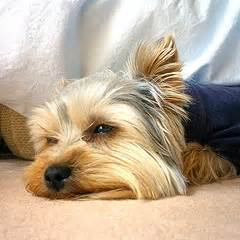 yorkshire terrier information and training, potty training