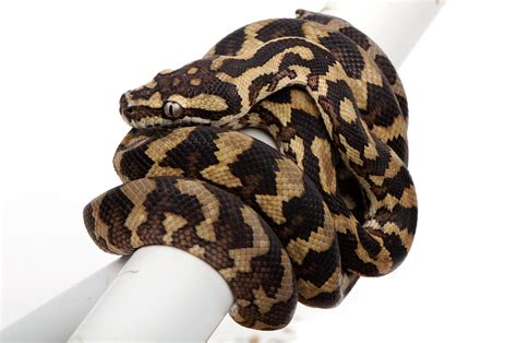 Carpet Python Shedding by Available At Www Crazyreptiles Eu