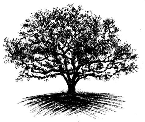 Oak Tree Drawing | 25 best ideas about oak tree drawings on pinterest