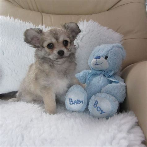maltese chihuahua mix puppies huey the maltesechihuahua mix puppies daily puppy breeds picture