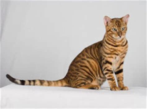California Toyger, chat tigré