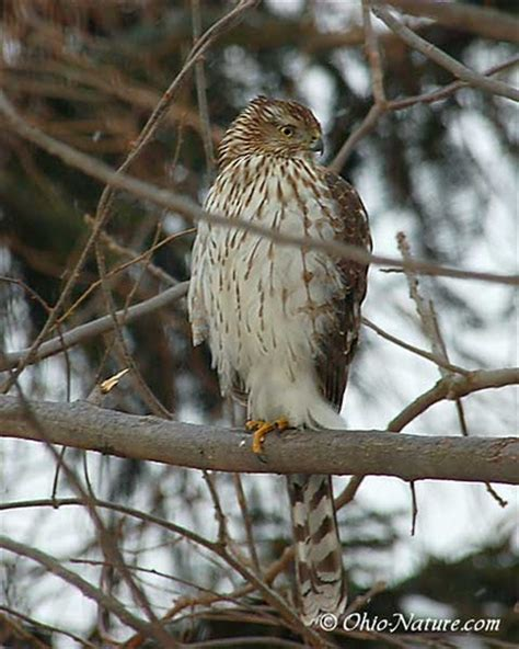 cooper s hawk awesome animals birds of prey