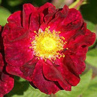 15 Benih Bunga Mix 1 benih japan mawar jepang 1 biji non retail