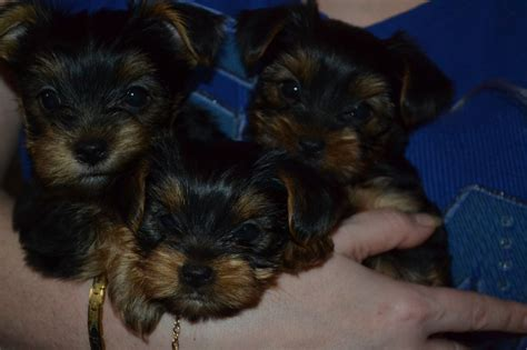 registered yorkie puppies for sale kc registered terrier puppies for sale leicester leicestershire pets4homes
