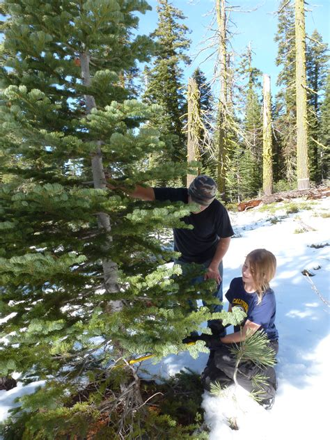 buy christmas tree cuttings lassen national forest tree permits go on sale november 1st susanvillestuff