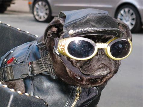 pug with goggles it s tuesday and time for some motor mutts 4ever2wheels the best of the web