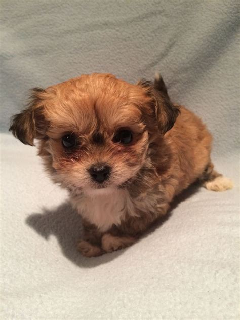 malchi puppies for sale 1 gorgeous malchi puppy left brighton east sussex