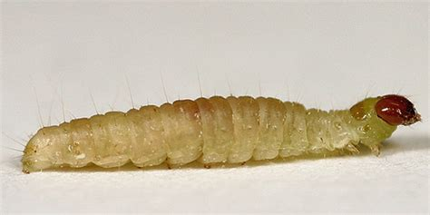Pantry Moth Larvae by Indian Meal Moth