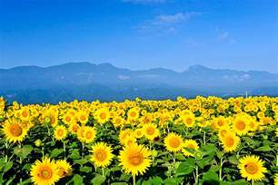 sunflower fields colors summer in japan japan monthly web magazine