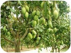Bibit Mangga Arumanis Probolinggo meratanam mangga organik teknologi mmc agrokompleks mmc