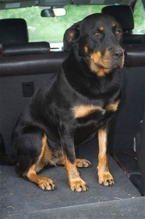 labrador rottweiler cross kara 2 year rottweiler cross labrador for adoption