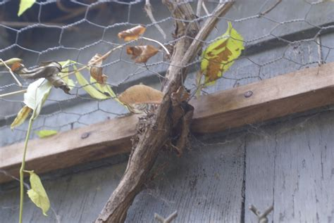 How To Get Rid Of Rats In Shed by How To Get Rid Of Rats In Your Chicken Coop