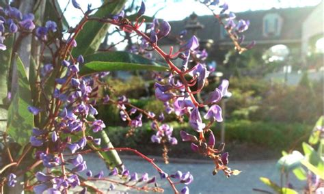 lilac climbing plant happy wanderer vine lilac alden nursery