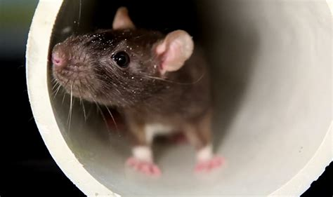 commercial rodent control services for rats mice