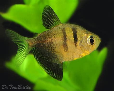tetra fish expectancy cardinal tetra the