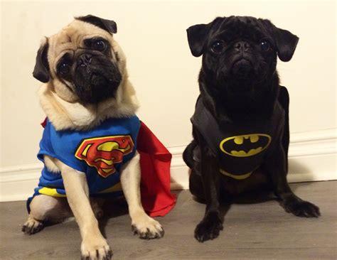 vs pug batman vs superman iheartdogs