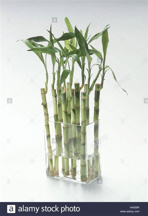 Lucky Bamboo Vase by Vase Lucky Bamboo Glass Glass Vase Bamboo Bambusa Grass Type Stock Photo Royalty Free