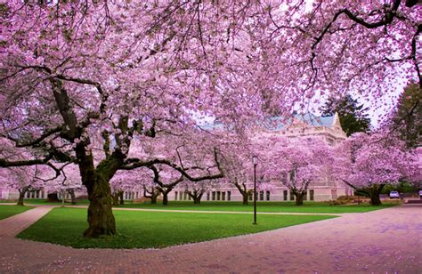 trees in japan a spectacle in pink see the cherry trees blossom in