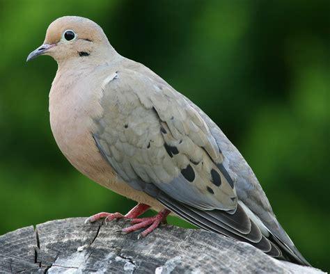 Tempat Makan Burung Perkutut sangkar burung perkutut peliharaan referensi burung