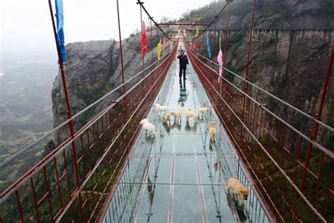 bridge puppies a pack of stray puppies got stranded on a glass bridge until some samaritans came