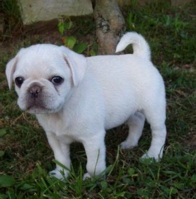 white pugs puppies white pug puppy all doggies