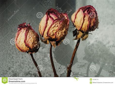 imagenes de rosas secas tres rosas secas rojas foto de archivo imagen de rose