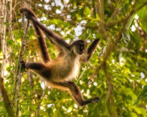 amazon rainforest animals amazon rainforests animals the spider monkey amazon