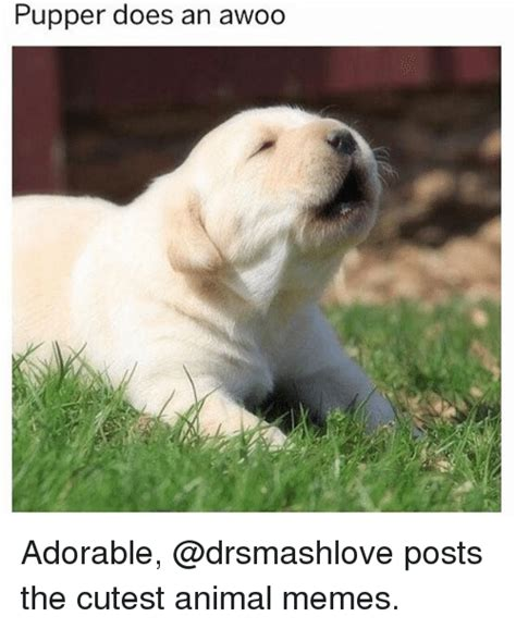 Cutest Animal Memes - 25 best memes about awoo awoo memes