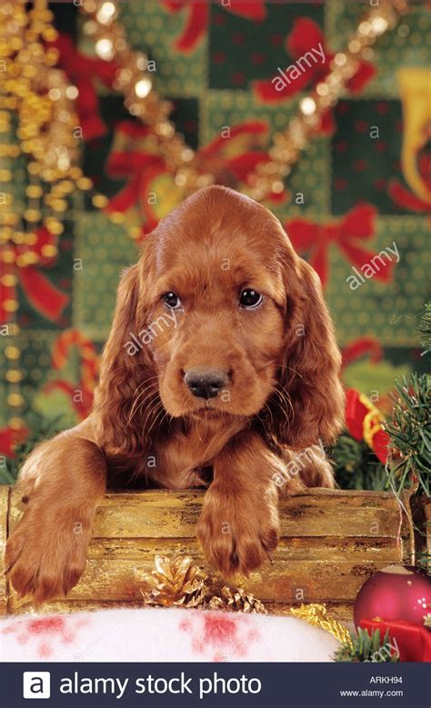 christmas irish setter dog puppy in front of christmas