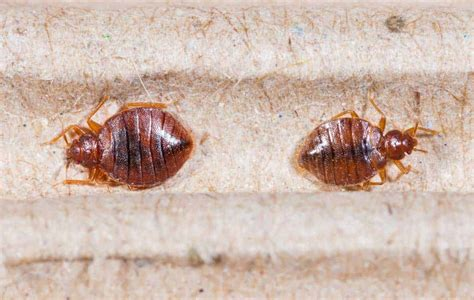 photo of bed bug how to kill bed bugs with diatomaceous earth other home