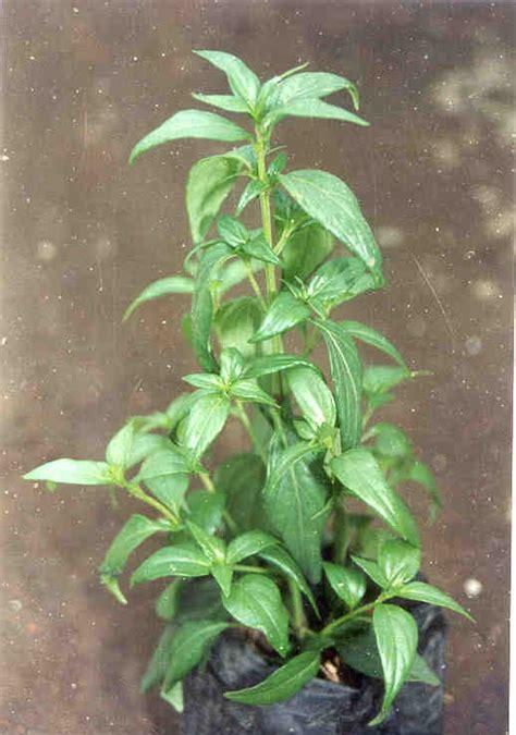 Green Zone Sambiloto 50 Kapsul sambiloto informasi herbal