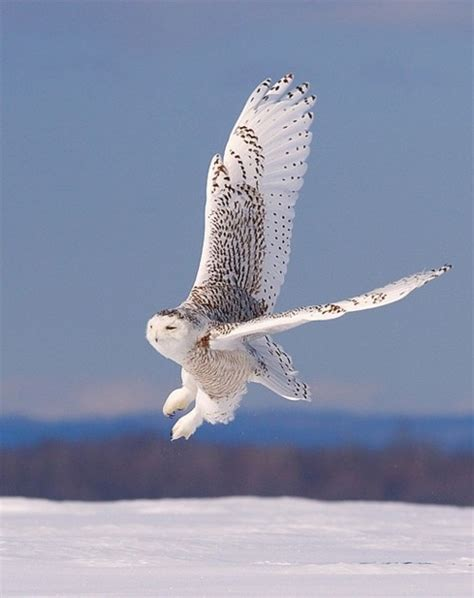 snowy owl pretty predator animal pictures pinterest