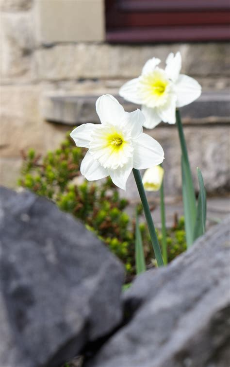 Image result for bing - photos of jonquils