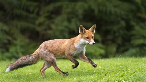 is a fox a how fast can a fox run reference