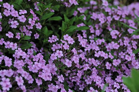 Small Purple by Small Purple Flowers Flickr Photo