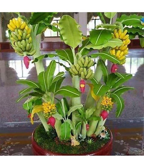 mini banana tree m tech gardens indoor dwarf mini banana fruit seeds 25