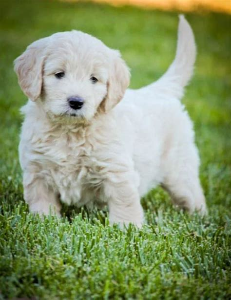 goldendoodle puppy california 25 best ideas about miniature labradoodle for sale on