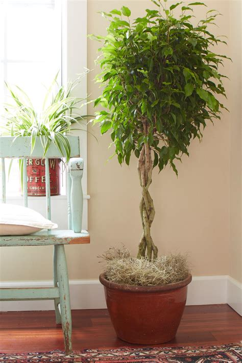 plants indoors tips for caring for your ficus tree hgtv
