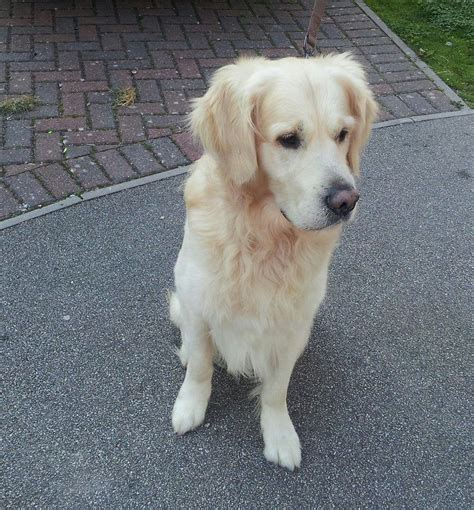 golden retriever puppies for sale in cornwall gorgeous golden retriever for stud st austell cornwall pets4homes