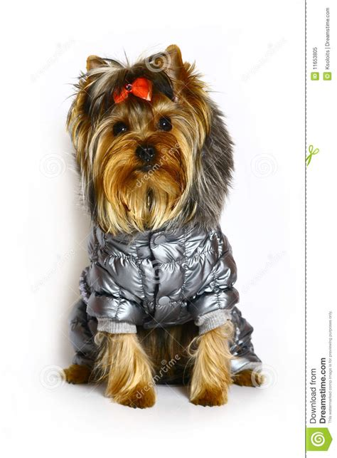 yorkie puppy clothes terrier in winter clothes royalty free stock photo image 11653805